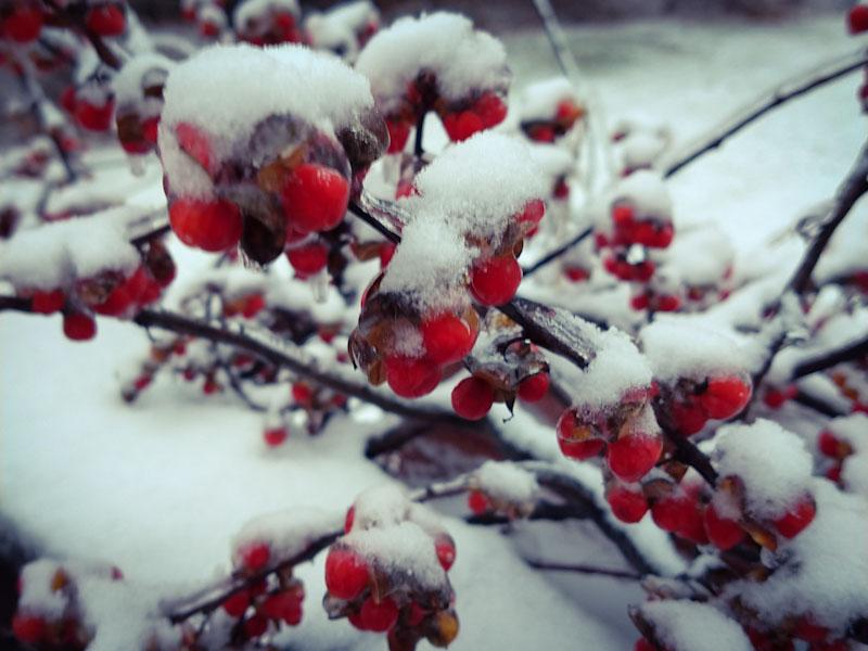Red bittersweet berries under snow